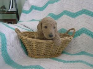 cream puppy