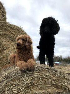 black red Standard Poodle