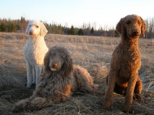 Angolly S Ranch Our Poodles