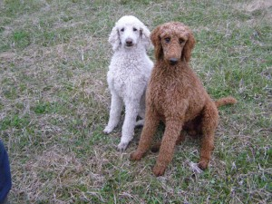 Angolly's Ranch » Our Poodles